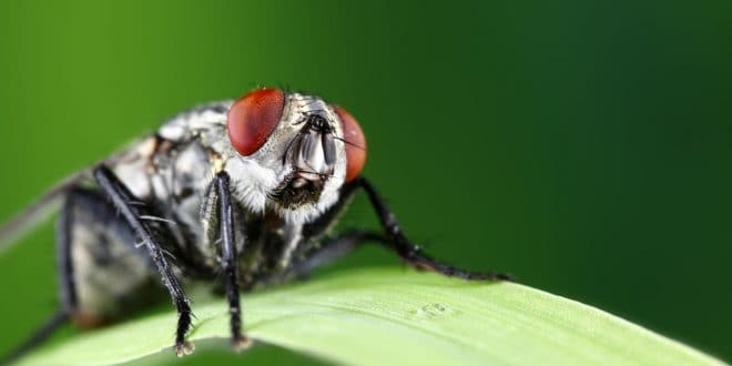 Comment faire fuir les mouches ? quelques astuces…